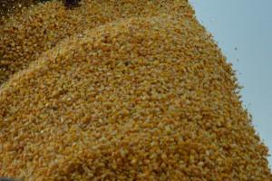 Mężczyzna zasypany przez ziarno kukurydzy