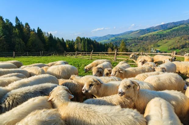 Owce pomogą zachować krajobraz parków w Małopolsce