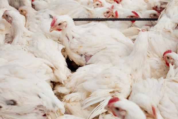 Pierwszy na polskim rynku program do zarządzania dla producentów drobiu