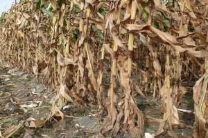 Ziarno kukurydzy porasta w kolbie