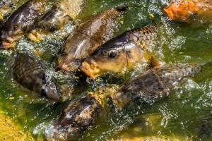 W gospodarstwach rybackich trwają odłowy karpia
