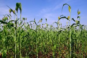UE: Powstał związek branżowy sorgo