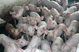 Gdzie podziało się ponad półtora tysiąca świń?