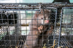 Premier: Zakaz hodowli zwierząt na futra - to dyskusja jak połączyć wodę z ogniem