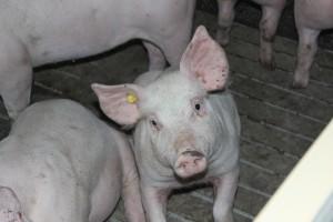 Niemcy: Ceny świń wciąż stabilne