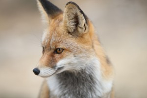 Na Podkarpaciu lisy zostaną ponownie zaszczepione przeciw wściekliźnie