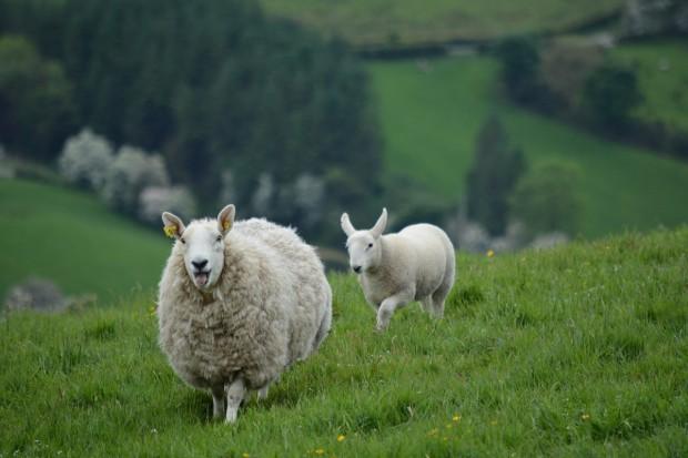IERiGŻ: Zmienny rynek jagniąt w UE