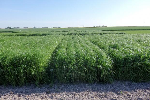 Nowe odmiany traw na grunty orne