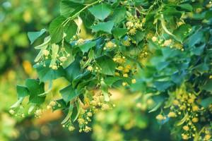 Wielkopolskie: Samorządy sfinansują zakup miododajnych drzew w trosce o pszczoły