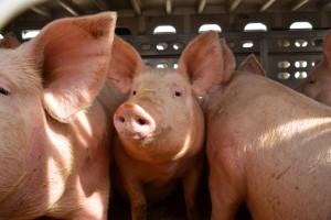 Niemcy: Mniejsze uboje świń w trzech kwartałach 2017 r.