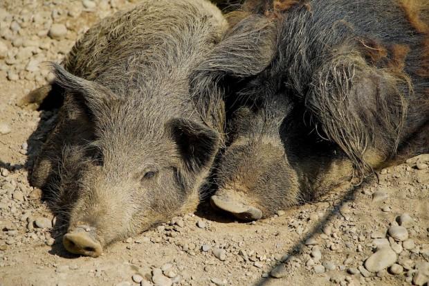 ASF wykryty u dwóch martwych dzików pod Warszawą