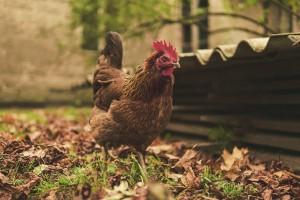 KE: Łatwiejsze zasady etykietowania jaj z chowu na wolnym wybiegu