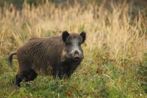 GIW: Mogą pojawić się kolejne przypadki ASF u dzików na zachód od Wisły