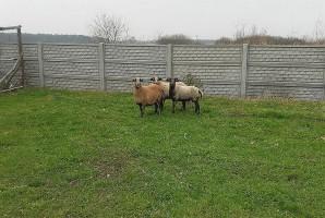 Policjanci zatrzymali złodziei owiec