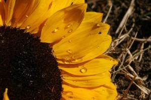 Rosja eksportuje coraz więcej poekstrakcyjnej śruty słonecznikowej