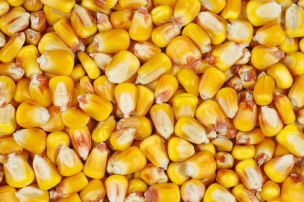 Znamy tegoroczny areał uprawy kukurydzy