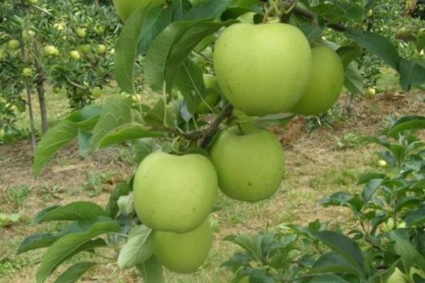 Nowa odmiana jabłoni wyhodowana przez SGGW