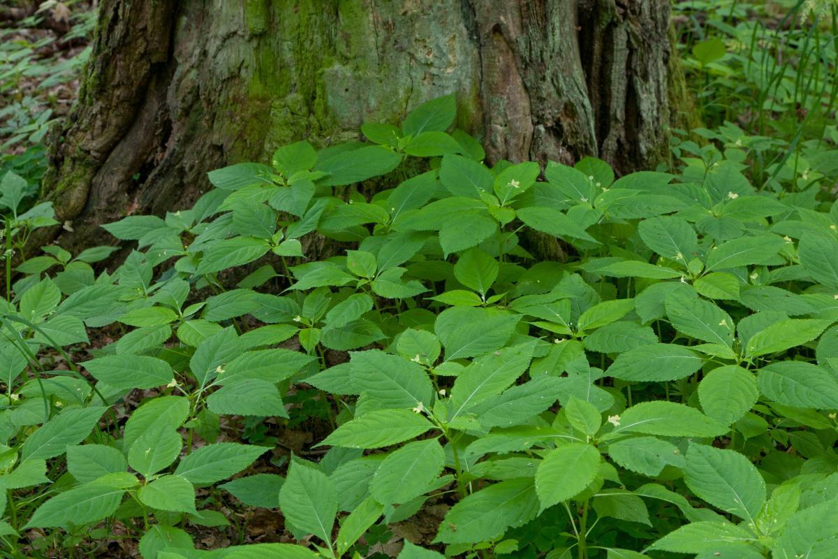 6075 gatunków jest obecnie udokumentowanych jako inwazyjne. Na fotografii niecierpek drobnokwiatowy (Impatiens parviflora)