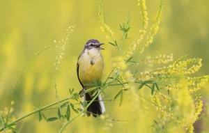 Czy śpiew ptaków ucichnie przez neonikotynoidy?