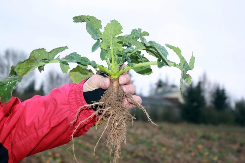 Rośliny wyglądają bardzo dobrze. Na uwagę zasługuje dobrze rozwinięty system korzeniowy o grubości od 1-1,5 cm; Fot. A. Kobus