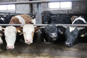 Dodatki paszowe w żywieniu bydła mięsnego