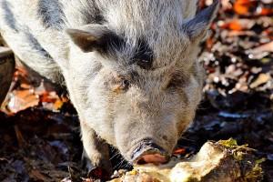 Kolejna dopłata do sprzedanych świń z obszarów ASF