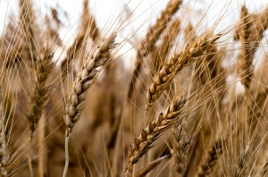 Kazachstan zwiększa eksport zbóż