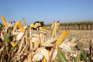 Wysokie plony kukurydzy ziarnowej we Francji