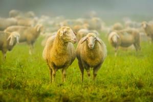 Na wyspie na Wiśle zamieszkało stado owiec i kóz