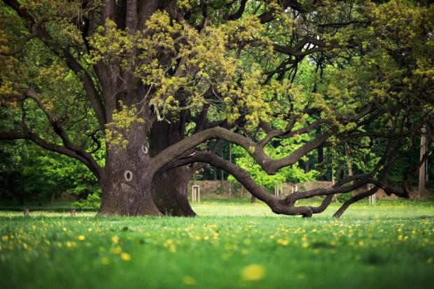 Konkurs Drzewo Roku: Wśród zgłoszonych drzew najwięcej dębów