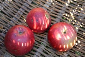 Sercadis – nowość w ochronie sadów