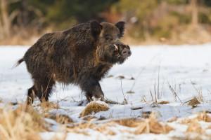 Czechy: Rekordowy odstrzał dzików