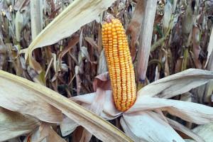 COBORU: Plon odmian kukurydzy na ziarno w badaniach rozpoznawczych