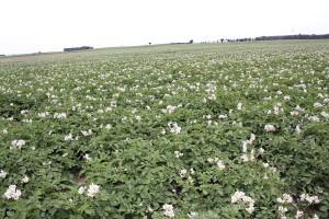 Jak wygląda ochrona ziemniaka w Polsce i krajach sąsiednich?