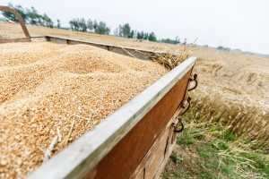 Niższe notowania zbóż