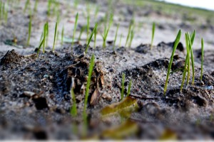 Zadbać o późno sianą pszenicę ozimą