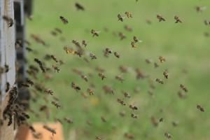 KE rozpoczyna konsultacje dotyczące owadów zapylających