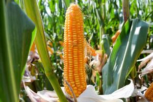 Kukurydziane nowości