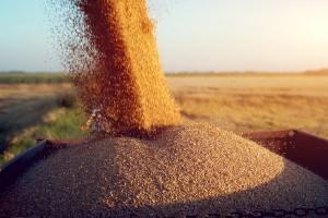 Silny spadek ceny pszenicy