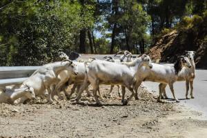 Niemcy: Pasterze żądają płatności do owiec i kóz