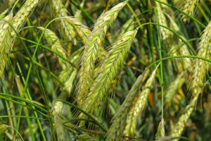 Dalszy spadek cen zbóż na MATIF