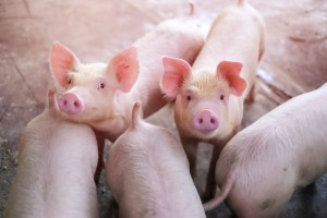 Ukraina wprowadziła zakaz importu świń z województw, gdzie wystąpił ASF