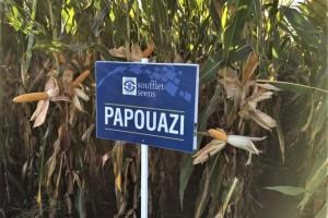 Oferta kukurydzy od Soufflet Agro Polska