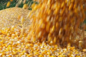 W Północnej Polsce duży popyt na pszenicę, owies i kukurydzę
