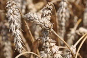 Kolejny silny wzrost cen pszenicy