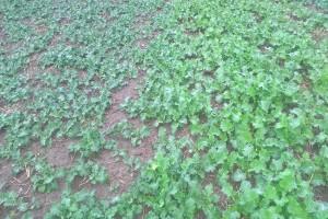 Czas regulacji pokroju roślin rzepaku