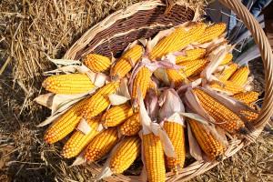 Pierwsze LOZ dla kukurydzy