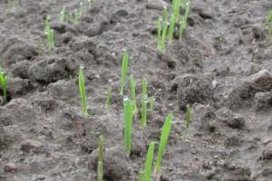 Sprawdzone odmiany zbóż jarych na Podlasiu