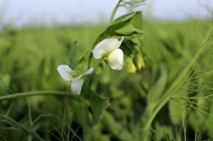 KZP-PTCh zaniepokojony projektem ustawy o wykorzystaniu roślin wysokobiałkowych