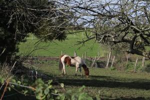 Zachodniopomorskie: Oskarżeni złodzieje bydła i koni